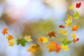 Autumn colored leaves falling maple on natural background Stock Photos