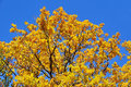 Autumn colored tree Royalty Free Stock Photo