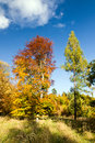 Autumn colorful forest trees against the blue sky with white clouds Stock Photo
