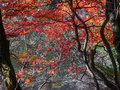 Autumn colors of enkianthus perulatus in nagano japan Stock Photo