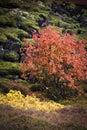 Autumn colors in þingvellir in iceland Stock Photo