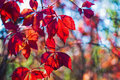 Autumn colors of red Virginia creeper leaves