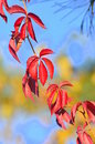 Autumn colors - ruby chain of leaves Stock Photo