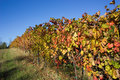 Autumn colors in the vineyard Stock Images