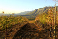 Autumn colors in the vineyards stellenbosch western cape Royalty Free Stock Photo