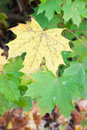 Autumn colours of maple leaves close up Stock Photos
