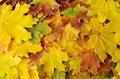 Autumn colours marple leaves in yellow orange and brown Stock Images