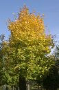 Autumn is coming. Maple tree is getting yellow Royalty Free Stock Images