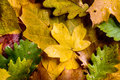 Autumn composition. Close up of colorful leaves. Studio shot. Royalty Free Stock Photo