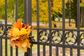 Autumn concept: maple leaves on fence of the park Royalty Free Stock Photo