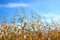 Autumn corn Royalty Free Stock Photo