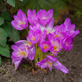 Autumn crocus Royalty Free Stock Photos