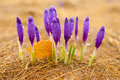 Autumn crocus Royalty Free Stock Photography