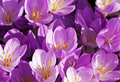 Autumn Crocus Or Meadow Saffro...