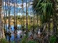 autumn cypress swamp landscape Royalty Free Stock Photo