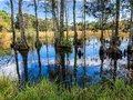 autumn cypress swamp landscape Royalty Free Stock Photo