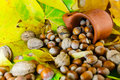 Autumn detail nuts and hazelnuts spilled from ceramic pot on background leaves Royalty Free Stock Image