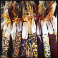 Autumn dried indian corn cobs Arkivfoto