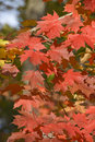 Autumn fairy of red  maple leaves Stock Photos