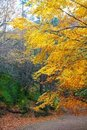 Autumn fall colorful golden beech forest trees Royalty Free Stock Image