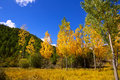 Autumn fall forest with yellow golden poplar trees Stock Photos