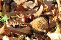 Autumn Fall Leaves And Chestnuts Come