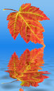Autumn Fall Red Maple Leaf Water Reflection Stock Images