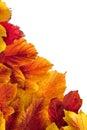 Autumn. Fall viburnum leaves Stock Images