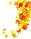 Autumn falling maple leaves Royalty Free Stock Photo