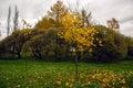 Autumn falling maple tree Royalty Free Stock Photo