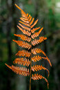 Autumn fern leaves in orange color Royalty Free Stock Photo