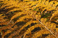 Autumn ferns 2 Royalty Free Stock Images