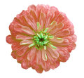 autumn flower, white isolated background with clipping path. Closeup no shadows; Royalty Free Stock Photo