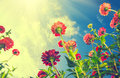 Autumn flowers over blue sky. Zinnia Royalty Free Stock Photo