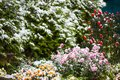 Autumn flowers under early snow. frontage in winter Royalty Free Stock Photo