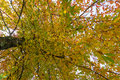 Autumn foliage background. Yellow  canopy leaves on tree Royalty Free Stock Photo