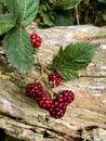 Ripening Blackberries Against ...