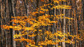 Autumn forest beautiful with yellow and red trees Royalty Free Stock Images