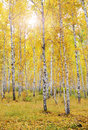 Autumn forest birch against sun Royalty Free Stock Images