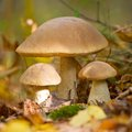 Autumn forest eatable mushrooms Stock Image