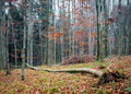 Autumn forest with fallen tree Royalty Free Stock Photo