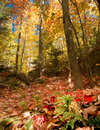 Autumn Forest Floor and Canopy Royalty Free Stock Photo