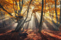 Autumn forest in fog with sun rays. Magical old trees Royalty Free Stock Photo