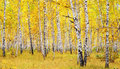 Autumn forest image of birch Stock Photos