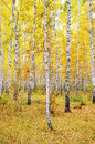 Autumn forest image of birch Royalty Free Stock Image