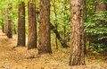Autumn forest landscape with perspective Royalty Free Stock Photo