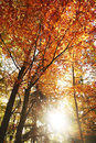 Autumn forest with sun sunny beech scene Stock Photos