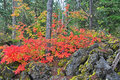 Autumn forest vine maples in full colors decorate the and the surrounding lava rocks on santiam pass in oregon Stock Image