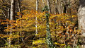 Autumn Forest, Yellow Leaves O...