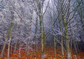 Autumn frost on trees bare beech frosted branches Stock Photos